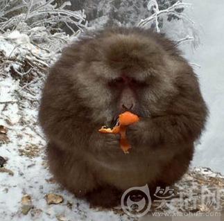 猴哥都胖成这样了还吃··