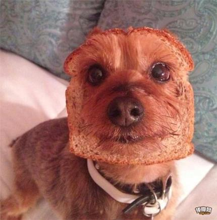 给了狗狗一片面包,过会一低头,直接吓尿…