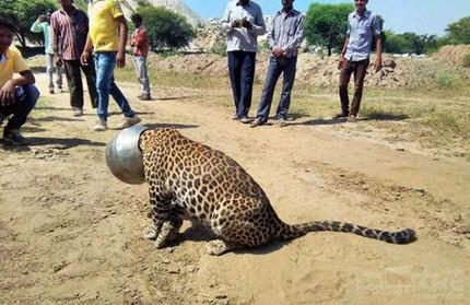 可怜的豹子,喝个水被困住了!!