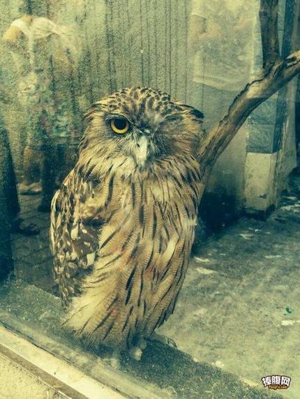 白天的猫头鹰原来是睁一只眼闭一只眼的啊!